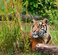 portrait of sumatran tiger panthera tigris sumatrae big cat - stock photo