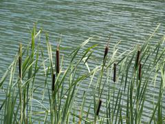 stand of green cattails - stock photo