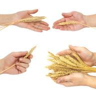 arm of wheat - stock photo