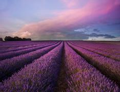 Stock Photo of stunning lavender field landscape summer sunset
