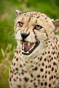 Cheetah acinonyx jubatus big cat Stock Photos