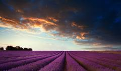 stunning lavender field landscape at sunset in summer - stock photo