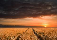 Golden wheat field under dramatic stormy sky landscape Stock Photos