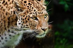 Beautiful leopard panthera pardus big cat amongst foliage Stock Photos