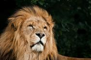Portrait of king of the jungle lion panthera leo big cat Stock Photos