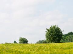 fresh wheat meadow - stock photo