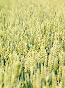 young wheat field - stock photo