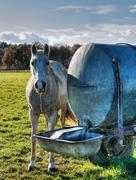 horse drinking - stock photo