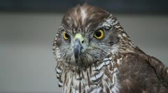 Hawk Close-Up 25 fps 02 Stock Footage