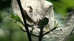 Caterpillars on a tree branch moving in a cobweb Stock Footage