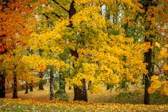 Stock Photo of maple tree in park in autumn