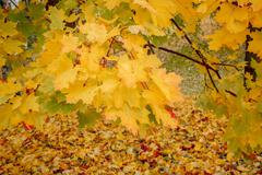 Stock Photo of detail of maple tree in park in autumn