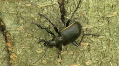 Ground Beetle closeup crawling on a stone Stock Footage