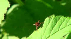 A fly cleans its wings on a green leaf Stock Footage