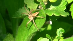 The spider sits on a leaf, a tree Stock Footage