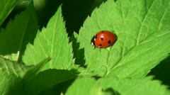 Ladybug crawling on a leaf of grass - stock footage