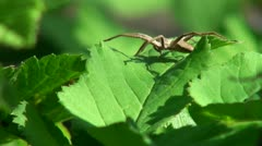 Small spider sitting on a leaflet, and basking in the sun Stock Footage