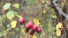 Ripe hawthorn in autumn Stock Footage