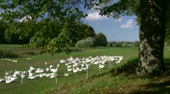 Domestic Geese in Mecklenburg - Northern Germany Stock Footage