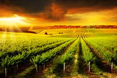 Stunning Vineyard Sunset Stock Photos