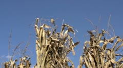 Bird flies by while another is resting on corn stalks Stock Footage