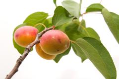 apricots on a white background - stock photo