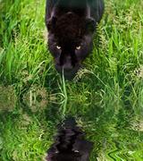 black jaguar panthera onca prowling through long grass reflected in calm wate - stock photo