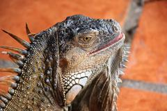 Green iguana close up - stock photo