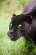 black jaguar panthera onca prowling thorugh long grass - stock photo