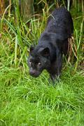 black leopard panthera pardus prowling through long grass - stock photo