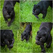 Kokoelma viiden kuvia musta leopardi Panthera pardus Kuvituskuvat