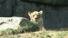720p Female Lion Stock Footage