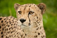 Cheetah acinonyx jubatus big cat Stock Photos