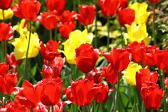 beautiful tulips - stock photo