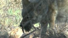 Coyote Eats Bird Stock Footage