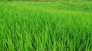 Stock Video Footage of Rice fields