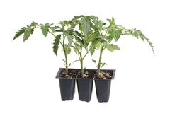 Pack of three tomato seedlings isolated against white - stock photo