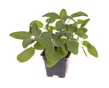 Small plant of sage in a black plastic pot Stock Photos