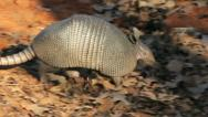 Stock Video Footage of Foraging Armadillo I