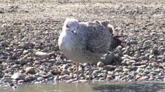 Seagull water bird Stock Footage