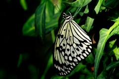 Black and White Butterfly on a Green Leaf Against a Defocused Green Background 2 Stock Photos