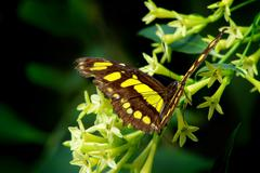 Black and Yellow Butterfly on Yellow Plant Against Defocused Green Background - stock photo