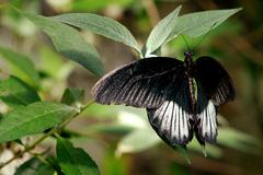 Black Butterfly on Leaf against a Defocused Natural Background 2 - stock photo