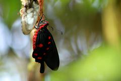 Black and Red Butterfly on Chrysalis against Defocused Natural Background Stock Photos