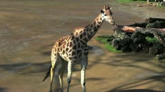 Giraffewalking 30 Stock Footage