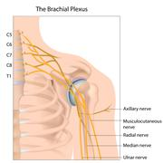 Stock Illustration of Brachial plexus