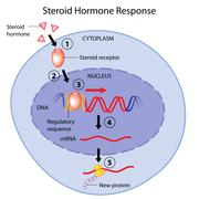 Steroid hormones action Stock Illustration