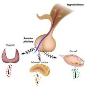 The hypothalamic pituitary axes Stock Illustration