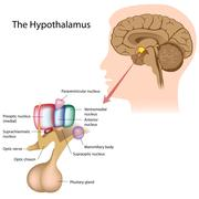 The hypothalamus - stock illustration