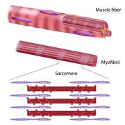 Structure of skeletal muscle fiber Stock Illustration